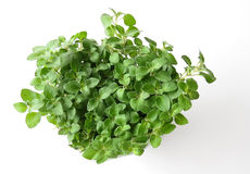 Oregano plant on white. Fresh green oregano plant on white Stock Photo