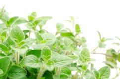 Oregano rośliny Zdjęcia Stock