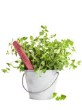 Oregano roślina w blaszanym wiadrze Fotografia Stock