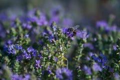 Oregano shrub blooms Royalty Free Stock Photos