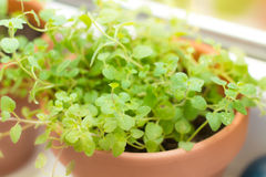 Oregano spice plant Royalty Free Stock Image