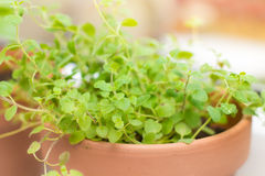 Oregano spice plant Stock Images