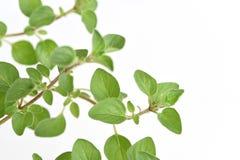 Oregano. Oregano, spices have medicinal properties Stock Images