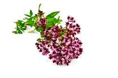 Oregano sprig Royalty Free Stock Photo