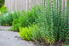 Oregano in a spring garden Stock Photos