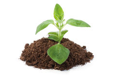 Oregano sprout growing stock image