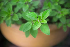 Oregano in a Terracotta Pot Stock Photography