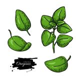 Oregano vector drawing. Isolated Herb plant branch with leaves. Stock Photos