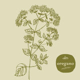 Oregano Royalty Free Stock Photography