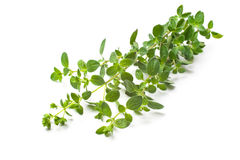 Oregano on a white background Stock Photo