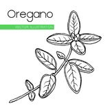 Oregano  white. Vector hand drawn oregano illustration. Vintage  flower sketch. Isolated Oregano plant with leaves. Herbal engraved style spice  illustration Stock Images