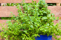 Oregano or Wild Marjoram Stock Photos