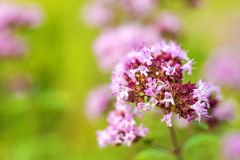Oregano, wild marjoram Stock Photo