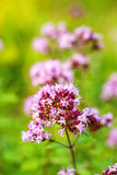 Oregano, wild marjoram Stock Photography