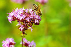 Oregano, wild marjoram Stock Images