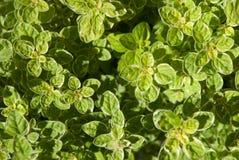 Oregano ziele opuszcza 1 Obraz Stock