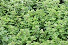Oreganoväxter till marknadsföra Arkivbilder