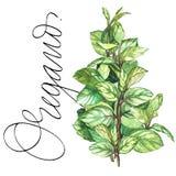orego Botanische tekening van een orego Waterverf mooie illustratie van culinaire die kruiden voor het koken worden gebruikt en royalty-vrije illustratie