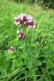 Orego (Wilde marjolein vulgare) Stock Afbeeldingen
