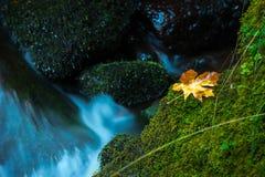 Oregon Autumn Fallen Maple Tree Leaves Watson Creek Oregon foto de archivo
