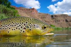 Oregon brown trout Stock Image