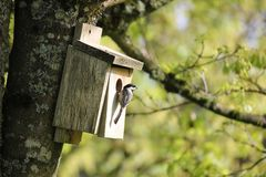 Oregon Chickadee Attracted To A Birdhouse. Stock Photo