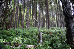 Oregon Coast Forest. Coniferous trees stand amidst dense underbrush in forested greenery along the Oregon Coastal region Royalty Free Stock Image