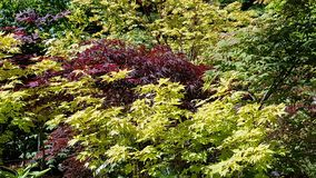 Beautiful display of multi color maple trees. Oregon Coast garden red green yellow maple trees stock photography