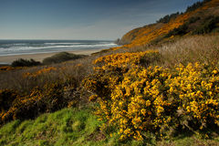 Oregon coast portraits. Blooming scotch broom decorates the Oregon coast line. Focus is at the foreground Royalty Free Stock Photography