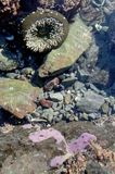 Oregon Coast Tidepool Royalty Free Stock Photography