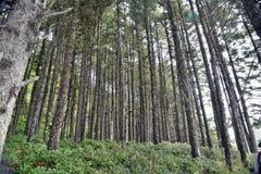 Oregon Coast Woodland. Dark coastal coniferous trees stand amidst dense underbrush in forested greenery along Oregon's coast Royalty Free Stock Photography