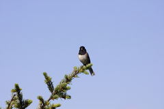 Oregon Dark-eyed Junco (Junco hyemalis) Royalty Free Stock Photo