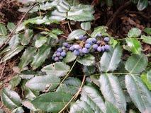 Oregon druva, Mahoniaaquifolia, med blåa bär Fotografering för Bildbyråer