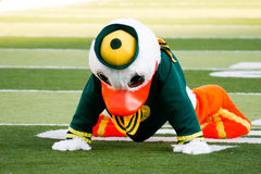 Oregon Ducks Mascot Puddles at Autzen Stadium. Eugene, OR, USA - October 28, 2006: Oregon duck mascot Puddles doing pushups after each score during the UO vs PSU Royalty Free Stock Photos