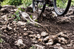 2013 Oregon Enduro. A racer rides through the dirt, rocks and roots during the 2013 Oregon Enduro in Hood River, Oregon royalty free stock image