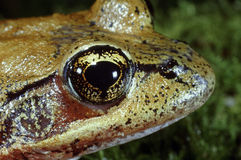 Oregon Frog Stock Images