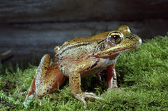 Oregon frog crawling along forest floor Stock Photos