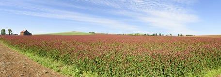Oregon fullvuxen karmosinröd växt av släktet Trifolium, Willamette dal, Marion County royaltyfri foto