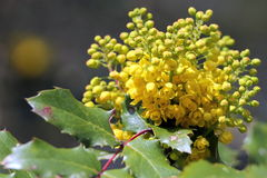 Oregon Grape in Bloom Royalty Free Stock Photo