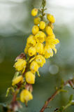 Oregon grape flower Royalty Free Stock Photography