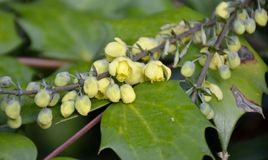 Oregon grape flowers Royalty Free Stock Image