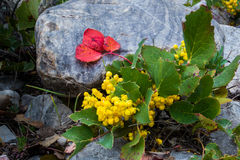 Oregon Grape Holly. Close View of Yellow Flowers of Creeping Oregon Grape Holly In Great Basin National Park, Nevada stock photos