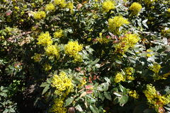 Oregon grape holly in full bloom in spring Royalty Free Stock Photography