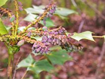 Oregon Grape Holly Plant with Purple Berries. The Oregon Grape Holly, or Mahonia aquifolium, outshines many more common types of hollies with it's blooms and Stock Photography