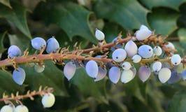 Oregon, Grape, Holly, Purple Royalty Free Stock Photos