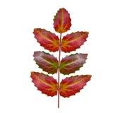 Oregon grape leaf vector illustration