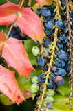 Oregon grape leaves and fruit Stock Photos
