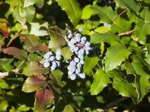 Oregon grape, Mahonia aquifolium, berries with leaves, macro, selective focus, shallow DOF. Oregon grape Mahonia aquifolium berries with leaves macro, selective stock photography