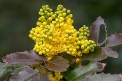 Oregon grape & x28;Mahonia aquifolium& x29; in flower. Cluster of yellow flowers on evergreen shrub in the family Berberidaceae stock photos
