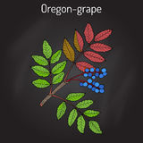 Oregon grape Mahonia aquifolium. Hand drawn botanical vector illustration royalty free stock photos